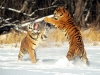 cat-fight-siberian-tigers-pictures